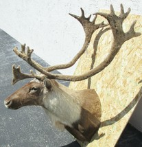 "Manitoba 2016 Caribou in Velvet Taxidermy Shoulder Mount 52"" Tall - Tag ... - $1,930.50"