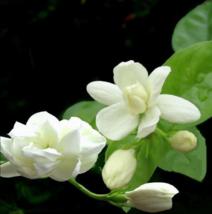 20pcs Cape Jasmine Jasminiodes White Shrub Aromatic Flower Seeds Plant New - $4.99