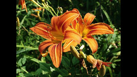 Wild Orange Daylily 50 fans/root systems ditch lily image 3