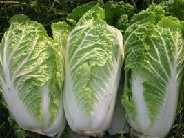 SHIPPED FROM US 1000 Michihili Cabbage Chinese Vegetable Bok Choy Seeds,... - $19.00
