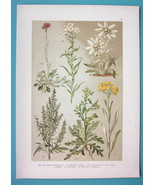 BOTANICAL PRINT 1896 Color Litho - Cat's Foot Edelweiss Mugwoprt Groundsel - $7.64