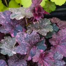 "1 Live Potted Plant heuchera MIDNIGHT ROSE coralbells speckled purple 2.5"" pot - $34.99"