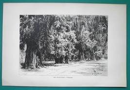 MEXICO Chapultepec Cypress Trees - 1891 Antique Print Engraving - $20.25