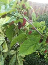 4 Persian Black Mulberry Tree Cuttings - $9.99