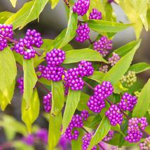 Live Plant  - Early Amethyst Beautyberry - Callicarpa - Shrub/Bonsai - 4... - $57.00