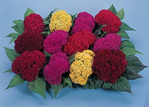 Primary image for Celosia Amigo Series Mix Annual Seeds