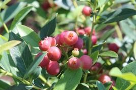 Pink Lemonade Blueberry Full Gallon Pot Live Plant For Home Garden - $73.99