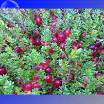 BEST PRICE 5 Seeds BELLFARM American Cranberry,DIY Fruit Seeds E4186 DG - $32.00