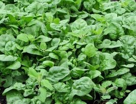 10 Variety Seeds - Bloomsdale Long Standing Spinach Seeds #IMA59 - $12.99+