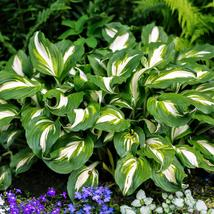 1 Root Plant Hosta Mediovariegata Root Grows in all growing zones - $20.99