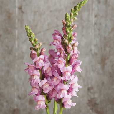 Primary image for Potomac Lavender Seeds ,Costa Silver Snapdragon Flower Seeds