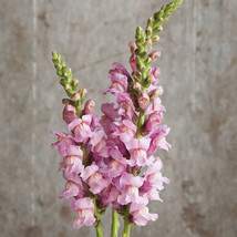 Potomac Lavender Seeds ,Costa Silver Snapdragon Flower Seeds - $21.00