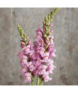 Potomac Lavender Seeds ,Costa Silver Snapdragon Flower Seeds - $21.00