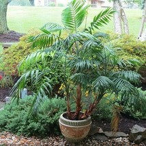 SHIP From US Parlor Palm Tree Seeds (Chamaedorea elegans) 10+Seeds UTS2 - $24.99