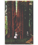 Vintage Postcard Man Woman Giant Tree Big Tree Grove Santa Cruz Californ... - $6.68