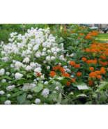 20 White NEW JERSEY TEA Hummingbird Flower Ceanothus Americanus Shrub Seeds - $13.00