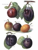 Vintage Fruit Prints: Count Athanns Gage - Fruit Growers Guide - 1880 - $12.82+