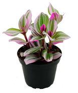"4"" Pot- Rare Nanouk Pink Wandering Jew -Tradescantia - Garden - FREESHIP tkhtg - $66.00"