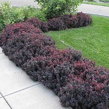 Concorde Japanese Barberry Aka Berberis T. 'Concorde' Live Plant Shrubs ... - $59.39