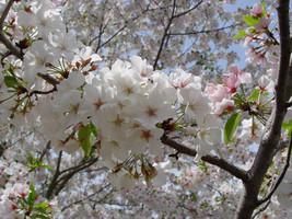 Snowgoose Flowering Cherry  tree 2 plants image 2