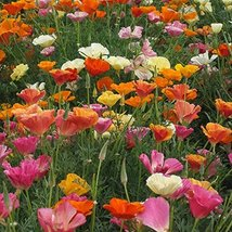 """500 seeds California Poppy """"Mission Bells Mix"""" - $6.93"""