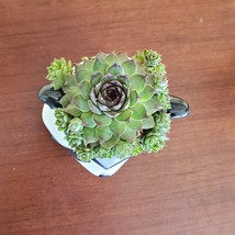 Raccoon Planter with Succulent, Live Plant Gift, Hens and Chicks, Sempervivum image 4