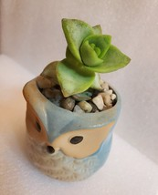 "Succulent in Ceramic Owl Planter, Crassula String of Buttons, 2.5"" Animal Pot image 3"