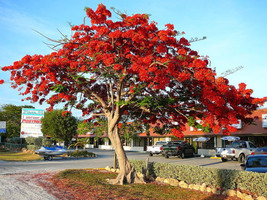 10 Seeds Delonix regia Shrub Flame Royal Poinciana Tree flamboyant Peren... - $8.09