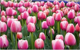 100seeds/bag Bonsai Tulip Tulip Flower Potted Plants ungu purple okeh - $2.99