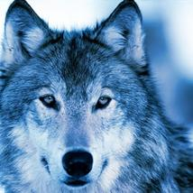 NO SPELL WORK IN  ME UNBLOCKED WOLF SHAMANIC SPELL 31 DAYS PACKAGE. - $350.00