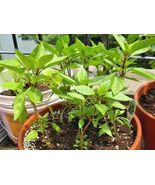 SHIPPED FROM US 600+THAI BASIL Asian Flowering Herb Sweet Fragrant Seeds... - $17.00