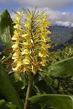 1 Bare Root of Hedychium Gardnerianum Kahili Ginger - $35.64
