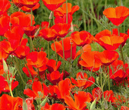Easy to Grow Poppy Red Chief Eschscholzia 1000 Fresh Seeds #IMA36 - $19.99
