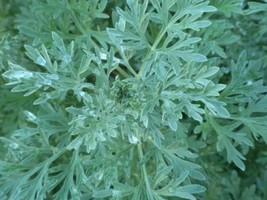100 Wormwood Seeds Artemisia Absinthium Absinthe herb Bitters Medicinal - $8.91