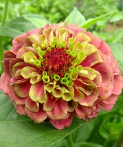 Outdoor Living – Garden - Zinnia Queen Red Lime 20 Seeds - tgi - $57.95