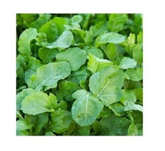 Arugula ASTRO 300 seeds Heirloom Herb Garden zesty healthy salad Nutty f... - $0.99
