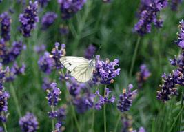 Lavender Fragrance Oil 2 ounces - $6.00