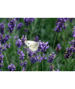 Lavender Fragrance Oil 2 ounces - $6.00