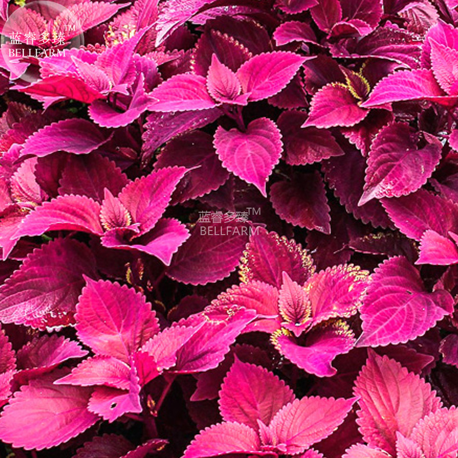 BEST PRICE Coleus Herb Seeds, 50 Seeds,7 colors ornamental bonsai garden LG [5]