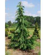 10 Pcs Seeds Cypress Chamaecyparis Nootkatensis Pendula Tree - DL - $16.00