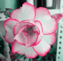 2pcs Very Beautiful Adenium White Petals Rose Red Edge Flowers IMA1 - $15.10