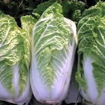 500 Napa Nampa Cabbage Michihli Nappa Seeds Heirloom Gardening NON-GMO  - $1.79