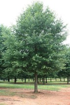 Willow Oak-(quercus phellos) image 2