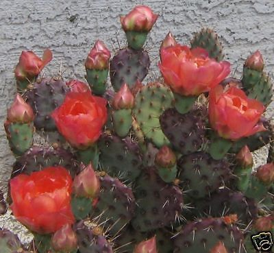 Opuntia basilaris cv. Mini Rita Purple Pad Pink Flower