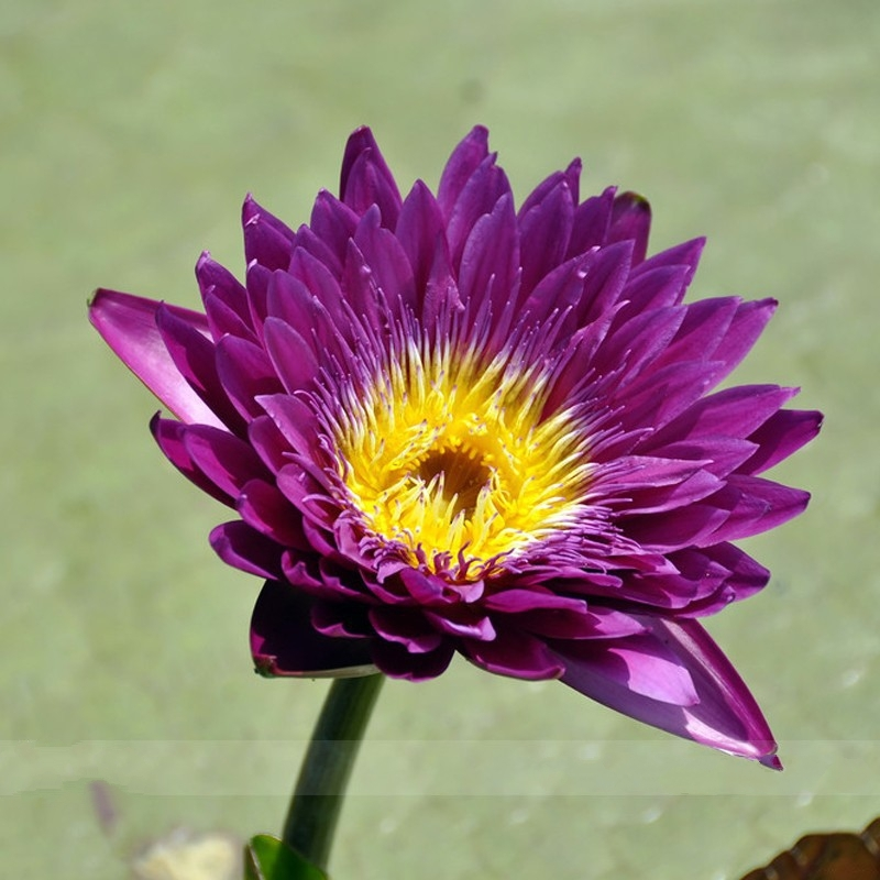 Primary image for 1 Professional Pack 1 seed/pack Dark Purple Water Lily Nymphaea Corolata Aquatic
