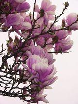 """1 Jane Magnolia - Magnolia liliflora """"refforescens"""" image 1"""