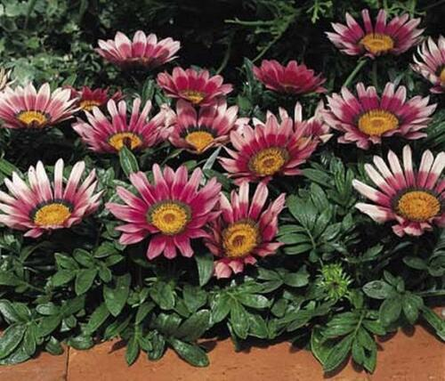 Primary image for Gazania Kiss Series Rose Annual Seeds