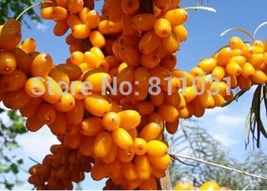 10pcs/bag Seabuckthorn seeds fence belt plant Hippophae rhamnoides seeds  - $8.99
