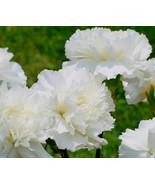 Wonderful Carnation Grenadin White 20 Fresh Seeds #IMA36 - $19.99