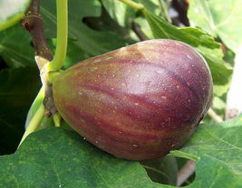 Live plant  - Fig - 'Black Mission' - Fruiting Fig Tree- Garden & Outdoor Living - $38.99